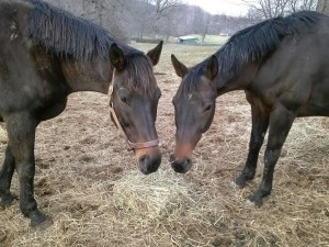 Bailey (on right) sharing some hay with his BFF Jack.