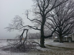 My old maple lost two big limbs...so heartbreaking! Ice is evil!